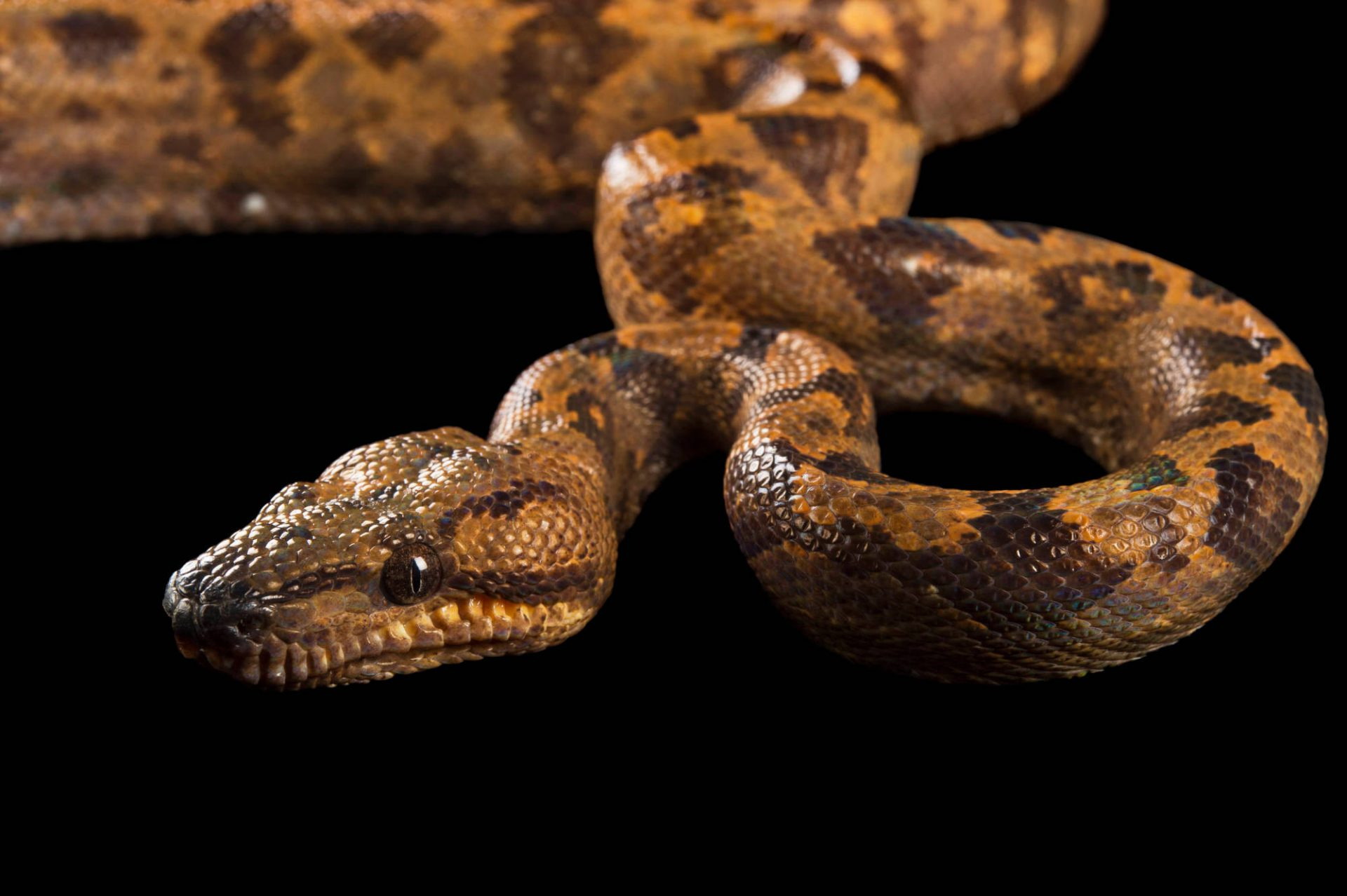 Picture of an annulated boa (Corallus annulatus) at the Knoxville Zoo.