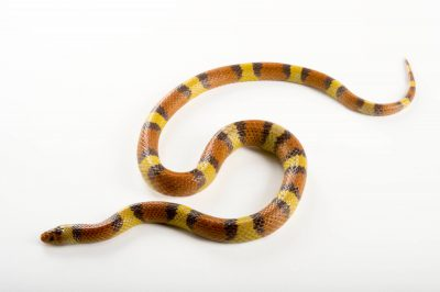 Picture of a scarlet kingsnake (Lampropeltis triangulum elapsoides) at the Knoxville Zoo.