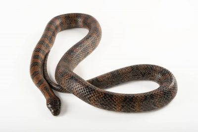Picture of a Mexican kingsnake (Lampropeltis mexicana mexicana) at the Knoxville Zoo.