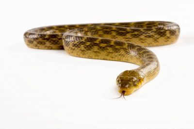 Picture of a Malagasy cat eyed snake (Madagascarophis colubrinus) at the Knoxville Zoo.
