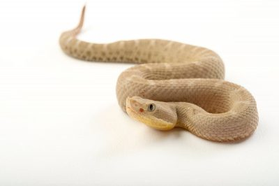 Picture of a Western Chihuahuan ridge nosed rattlesnake (Crotalus willardi silus) at the Knoxville Zoo.