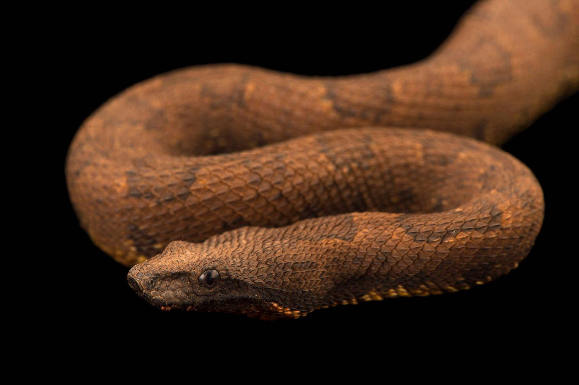 Photo: Viper boa (Candoia aspera) at the Sedgwick County Zoo.