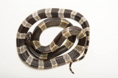 Photo: Malayan krait or blue krait (Bungarus candidus) at the Sedgwick County Zoo. Drop for drop, the venom of this snake is among the deadliest in the world.