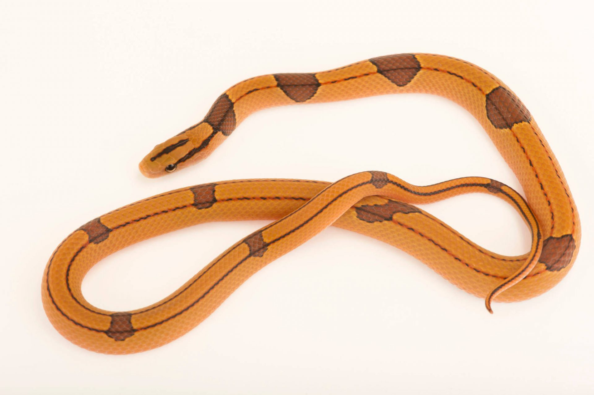 Photo: Red bamboo snake (Oreocryptophis porphyraceus vaillantii) from a private collection.