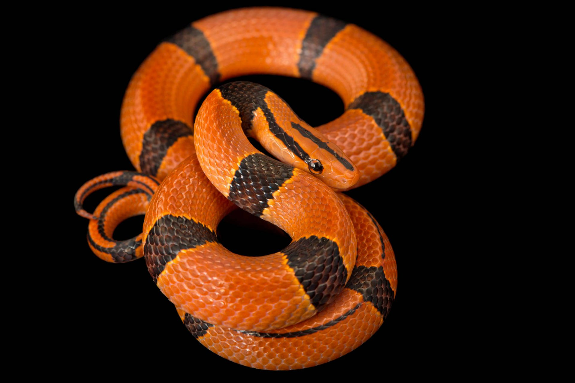 Photo: Red bamboo snake (Oreocryptophis porphyraceus pulchra) from a private collection.