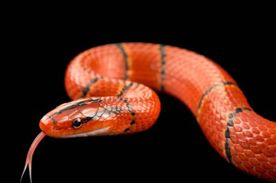 Picture of a red bamboo snake (Oreocryptophis porphyraceus laticincta) from a private collection.