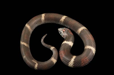 Photo: Tri-colored hognose snake (Lystrophis pulcher) from a private collection.