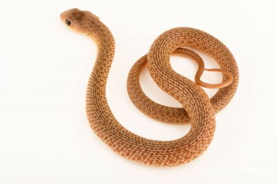 Photo: Rufous-beaked snake (Rhamphiophis oxyrhynchus) from a private collection.