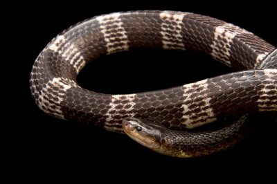 Photo: Malayan krait (Bungarus candidus) from a private collection.