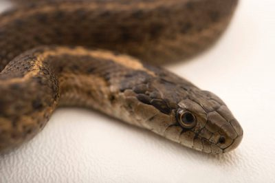Photo: Wandering garter snake (Thamnophis elegans vagrans) at the Loveland Living Planet Aquarium in Draper, UT.