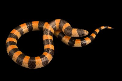 Photo: Variable sand snake(Chilomeniscus stramineus) from a private collection.