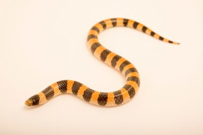 Photo: Variable sand snake (Chilomeniscus stramineus) from a private collection.