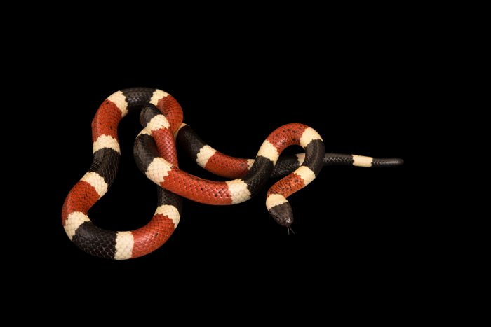 Photo: Sonoran coral snake (Micruroides euryxanthus) from a private collection.
