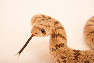 Photo: Chihuahuan hook-nosed snake (Gyalopion canum) from a private collection.