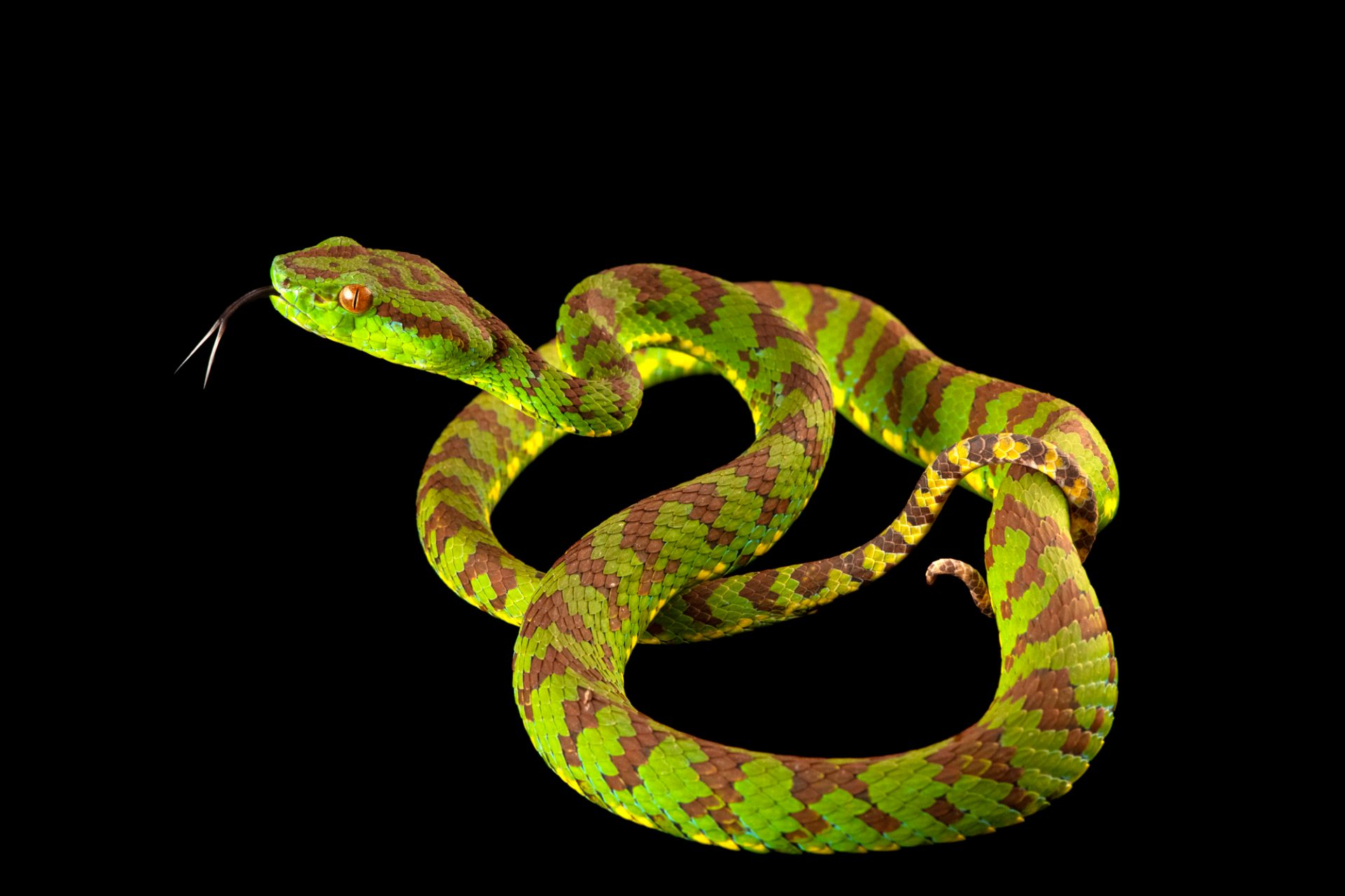 Photo: A Philippine pit viper (Trimeresurus flavomaculatus) at the Avilon Wildlife Conservation Foundation.
