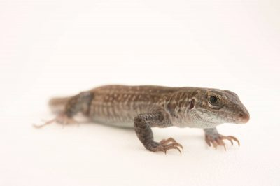 Picture of a Chihuahuan spotted whiptail (Aspidoscelis exsanguis) at Omaha's Henry Doorly Zoo.