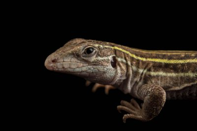 Picture of a Sonoran spotted whiptail lizard (Aspidoscelis sonorae) at Omaha's Henry Doorly Zoo.