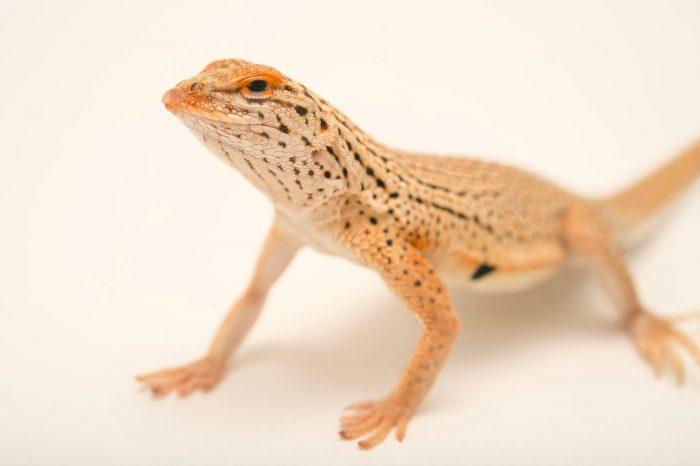 Picture of a Yuman fringe-toed lizard (Uma rufopunctata) at Omaha's Henry Doorly Zoo.