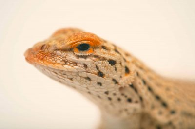 Picture of a Yuman fringe-toed lizard (Uma rufopunctata) at Omaha's Henry Doorly Zoo.