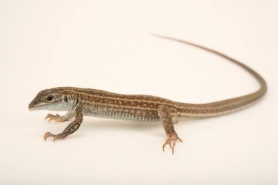 Picture of a Neaves' Whiptail Lizard (Aspidoscelis neavesi) at Omaha's Henry Doorly Zoo.