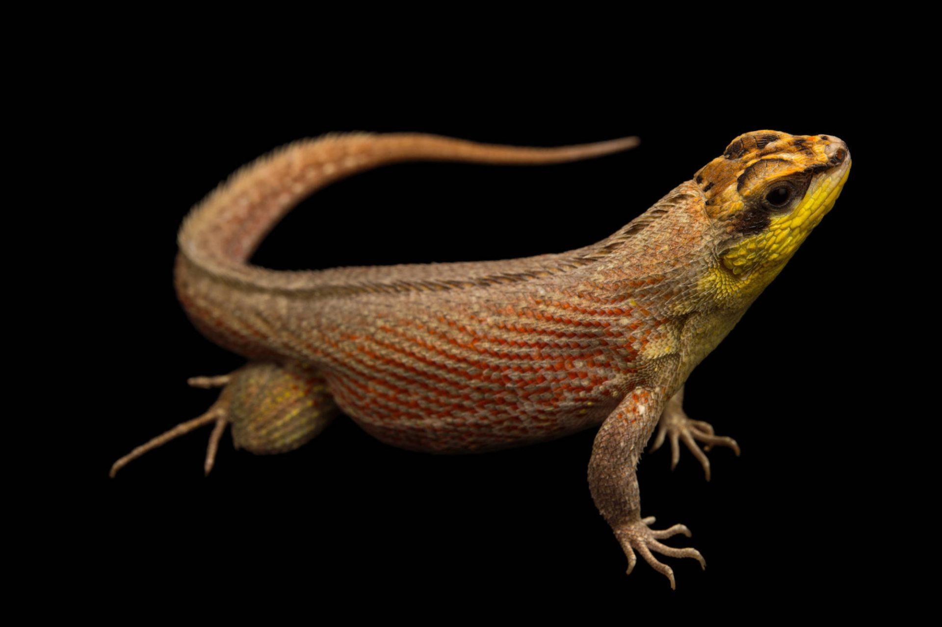 Picture of a Haitian curlytail lizard (Leiocephalus personatus mentalis) at the Parque Zoologico Nacional in Santo Domingo, Dominican Republic.