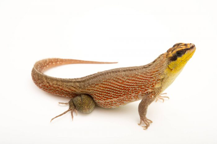 Picture of a Haitian curlytail lizard (Leiocephalus personatus mentalis) at the Parque Zoologico Nacional in Santo Domingo, Dominican Republic.