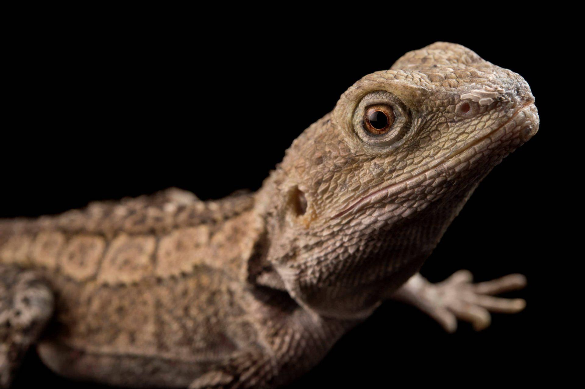 Picture of a jacky dragon (Amphibolurus muricatus) at the Healesville Sanctuary.
