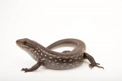 A Guthega skink (Liopholis guthega) at the Healesville Sanctuary.