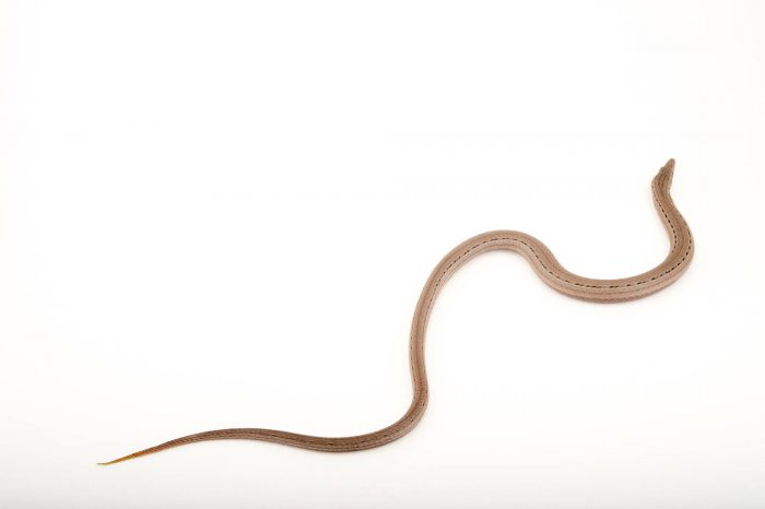 Picture of a Burton's legless lizard (Lialis burtonis) at the Healesville Sanctuary.