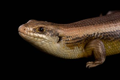 Picture of a major skink (Egernia frerei) at the Healesville Sanctuary.