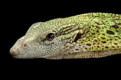A Reisinger's tree monitor (Varanus reisingeri) at the Fort Worth Zoo.