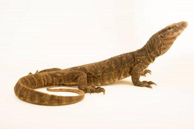 Photo: Common Indian monitor lizard (Varanus bengalensis) at Kamla Nehru Zoological Garden, Ahmedabad, India.