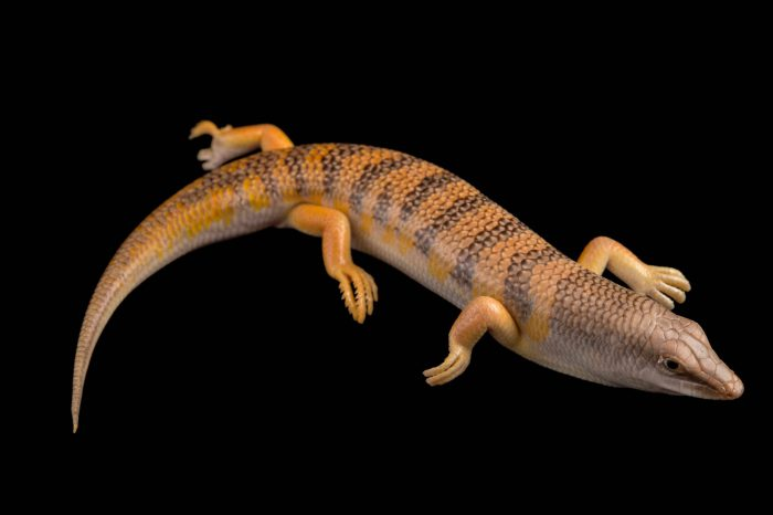Sandfish lizard (Scincus scincus) at the Houston Zoo.
