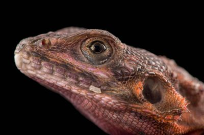 Photo: Spiderman agama (Agama mwanzae) at the Houston Zoo.