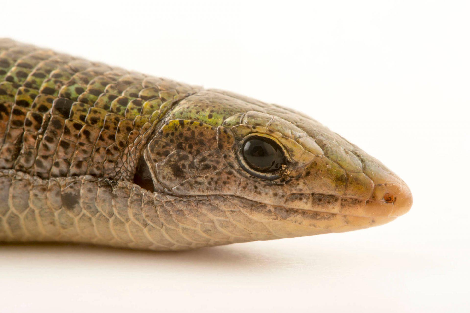 Photo: A green Madagascar girdled lizard, Zonosaurus haraldmeieri, at the Plzen Zoo.