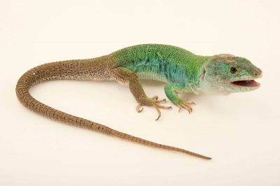 Photo: A North African ocellated lizard, Timon pater, at the Plzen Zoo.
