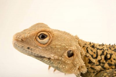 Photo: A Turkestan rock agama, Paralaudakia lehmanni, at the Plzen Zoo.