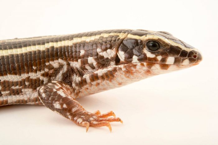 Photo: Three lined girdled lizard, Zonosaurus trilineatus, one of just two in captivity, at the Plzen Zoo.