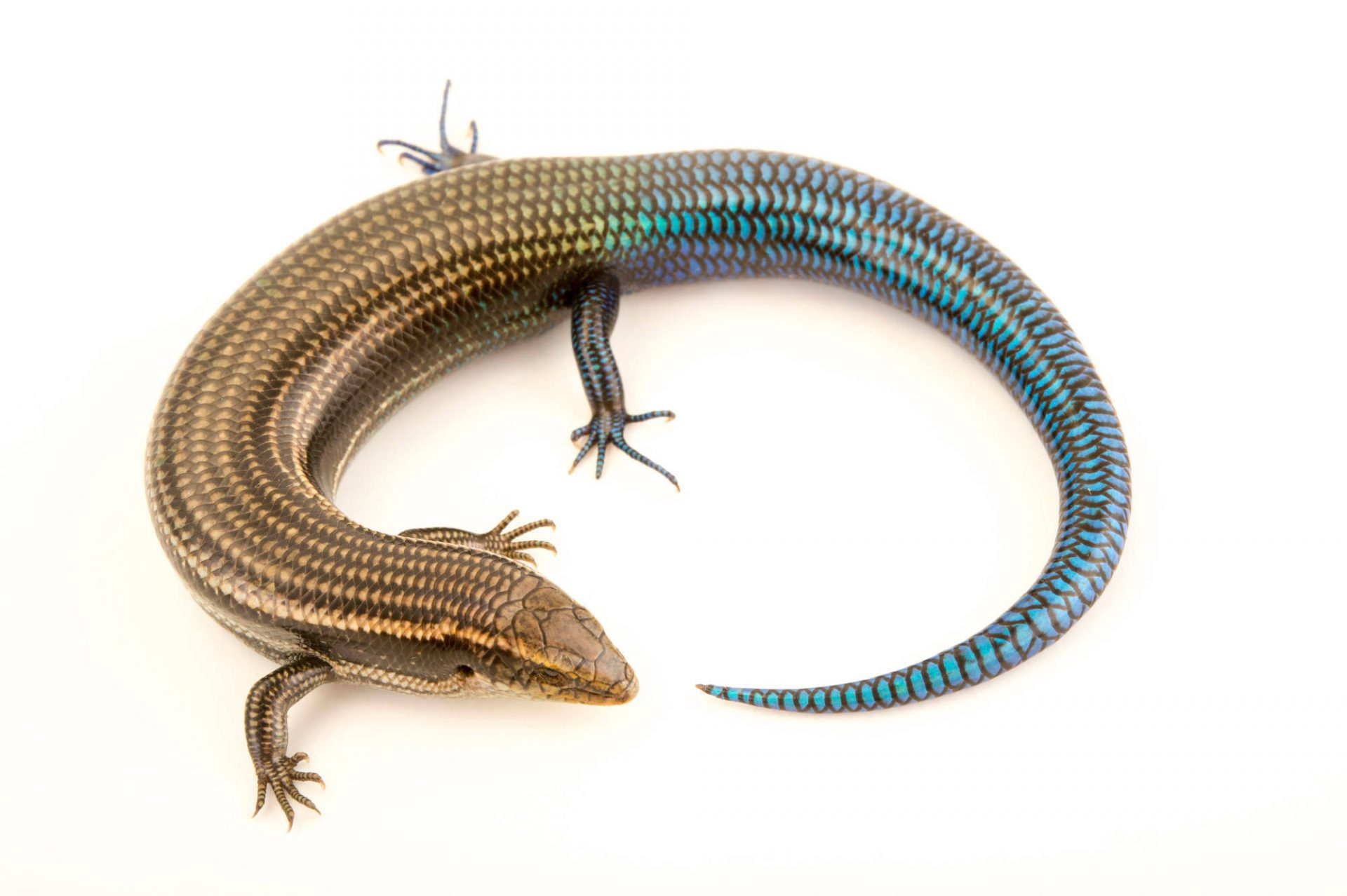 Photo: A male Southern Gran Canaria skink, Chalcides sexlineatus sexlineatus, at the Plzen Zoo.