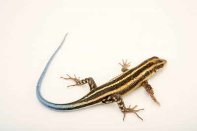Photo: A juvenile five lined skink, Trachylepis margaritifera, at the Plzen Zoo.