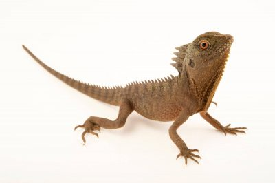 Photo: Combed dragon or Indonesian forest dragon (Hypsilurus dilophus) at the Plzen Zoo.