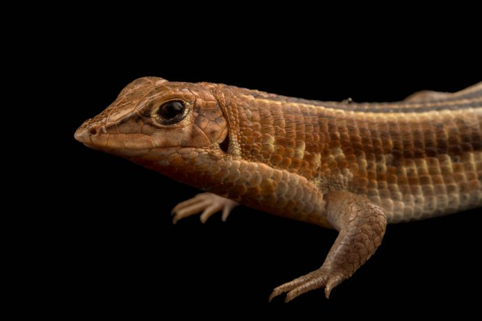 Photo: A Madagascar girdled lizard (Tracheloptychus madagascariensis) at the Plzen Zoo.