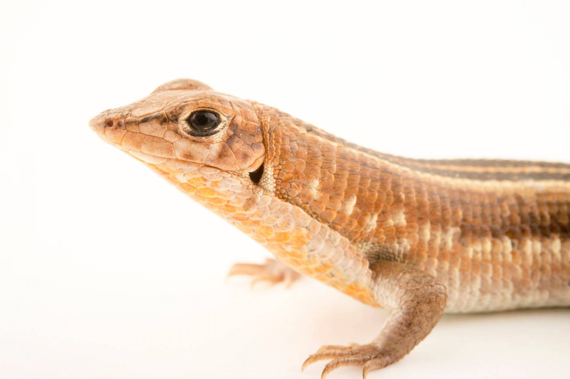 Photo: A Madagascar girdled lizard (Tracheloptychus madagascariensis) at the Plzen Zoo.