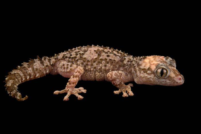 Photo: A Madagascar ground gecko (Paroedura ibityensis) at the Plzen Zoo.