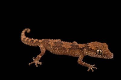 Photo: A vulnerable Madagascar ground gecko (Paroedura vazimba) at the Plzen Zoo.