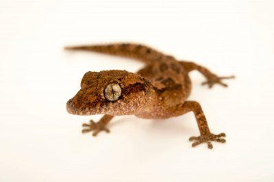 Photo: A vulnerable Madagascar ground gecko (Paroedura vazimba) at the Plzen Zoo.