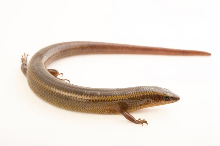 Photo: A common Madagascar skink (Madascincus cf. melanopleura) at the Plzen Zoo.