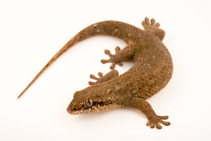 Photo: A fish scale gecko (Geckolepis maculata) at the Plzen Zoo.