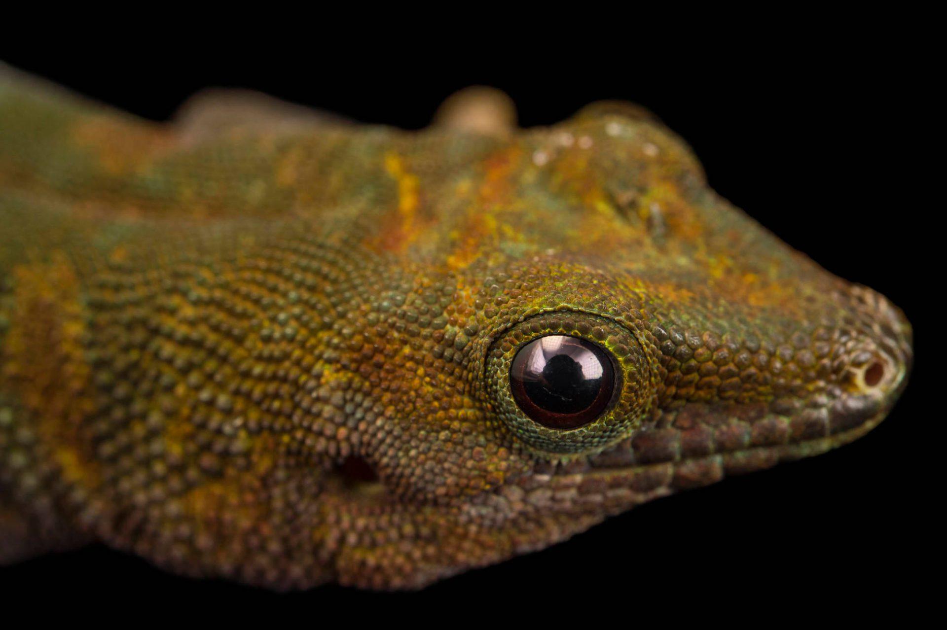Photo: A Boehme's giant day gecko (Phelsuma madagascariensis boehmei) at the Plzen Zoo.