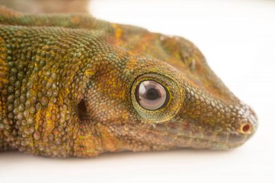 Photo: A Boehme's giant day gecko (Phelsuma madagascariensis boehmei) at the Plzen Zoo.